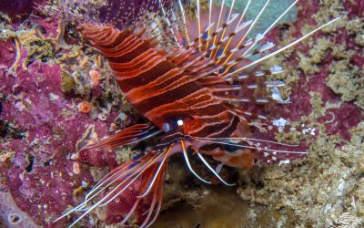 Spotfin lionfish, Antennata lionfish or broadbarred firefish, Pterois antennata