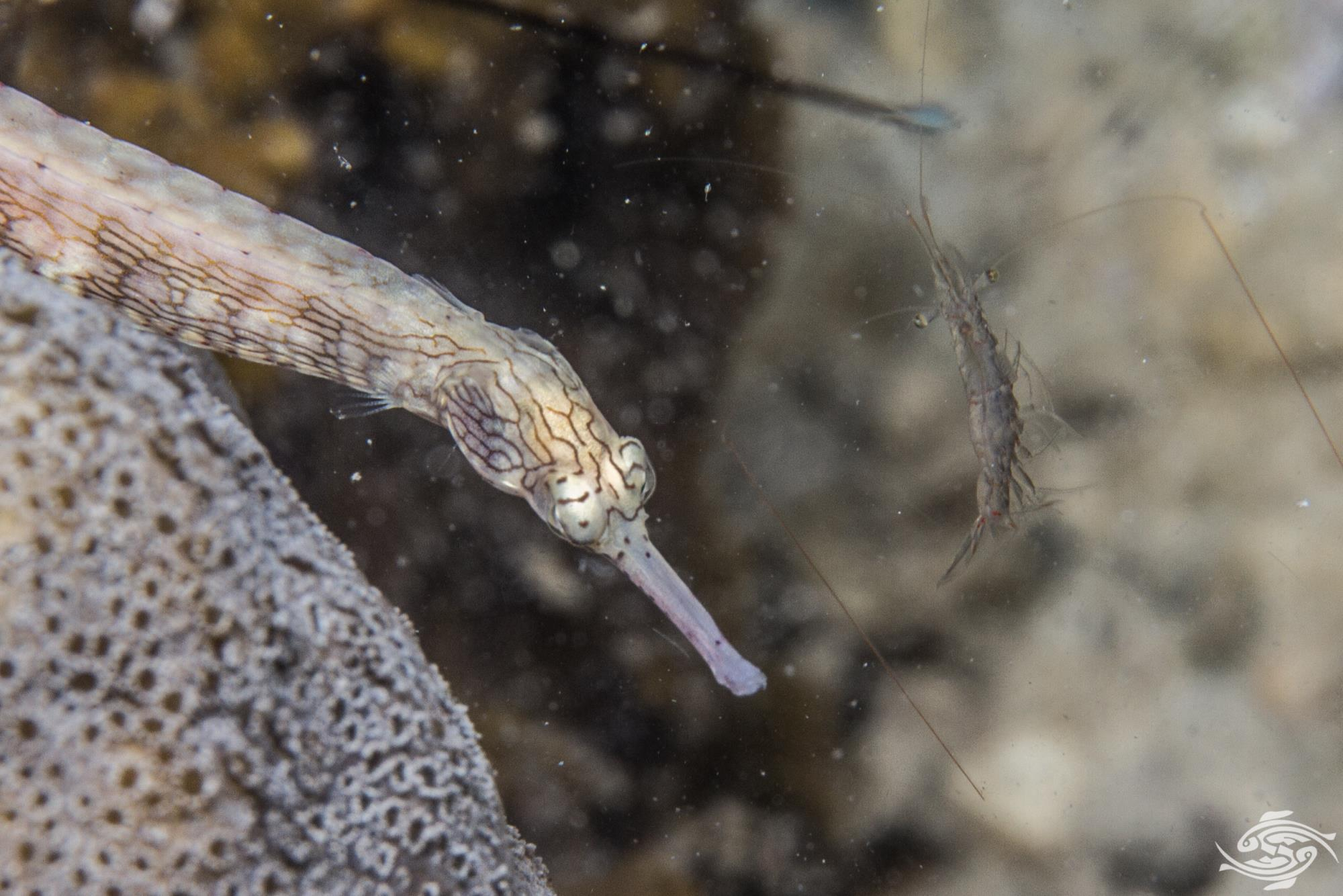 Network pipefish (Corythoichthys flavofasciatus)