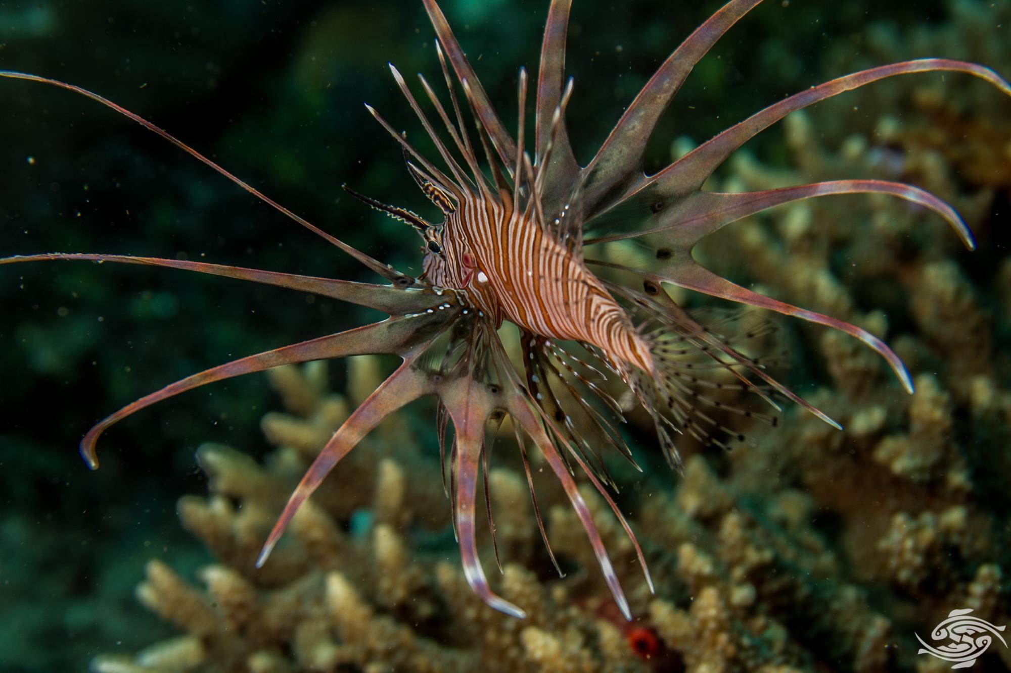 he Common Lionfish, Indian Lionfish or Devil Firefish (Pterois miles)