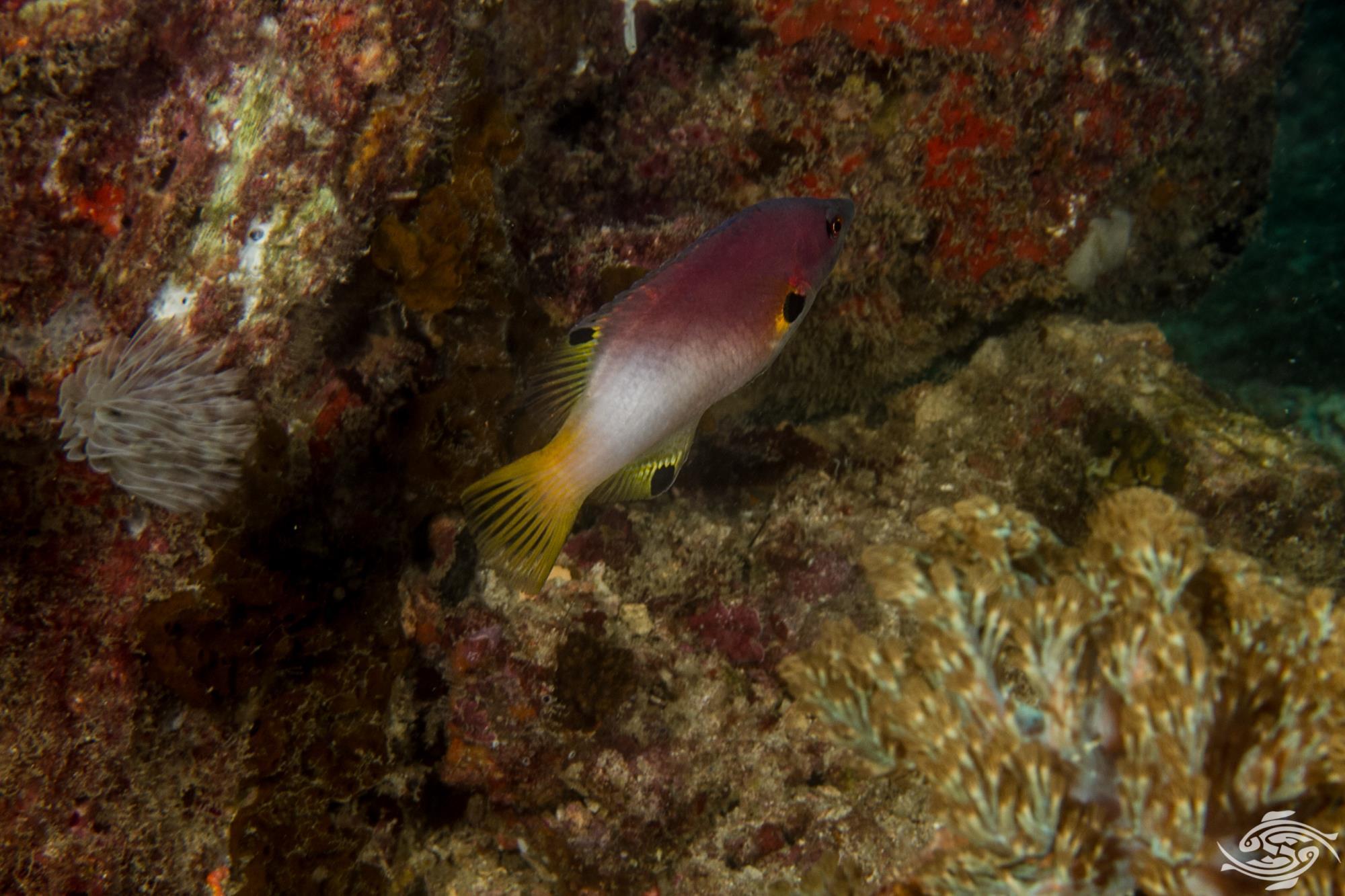 axilspot hogfish, Bodianus axillaris
