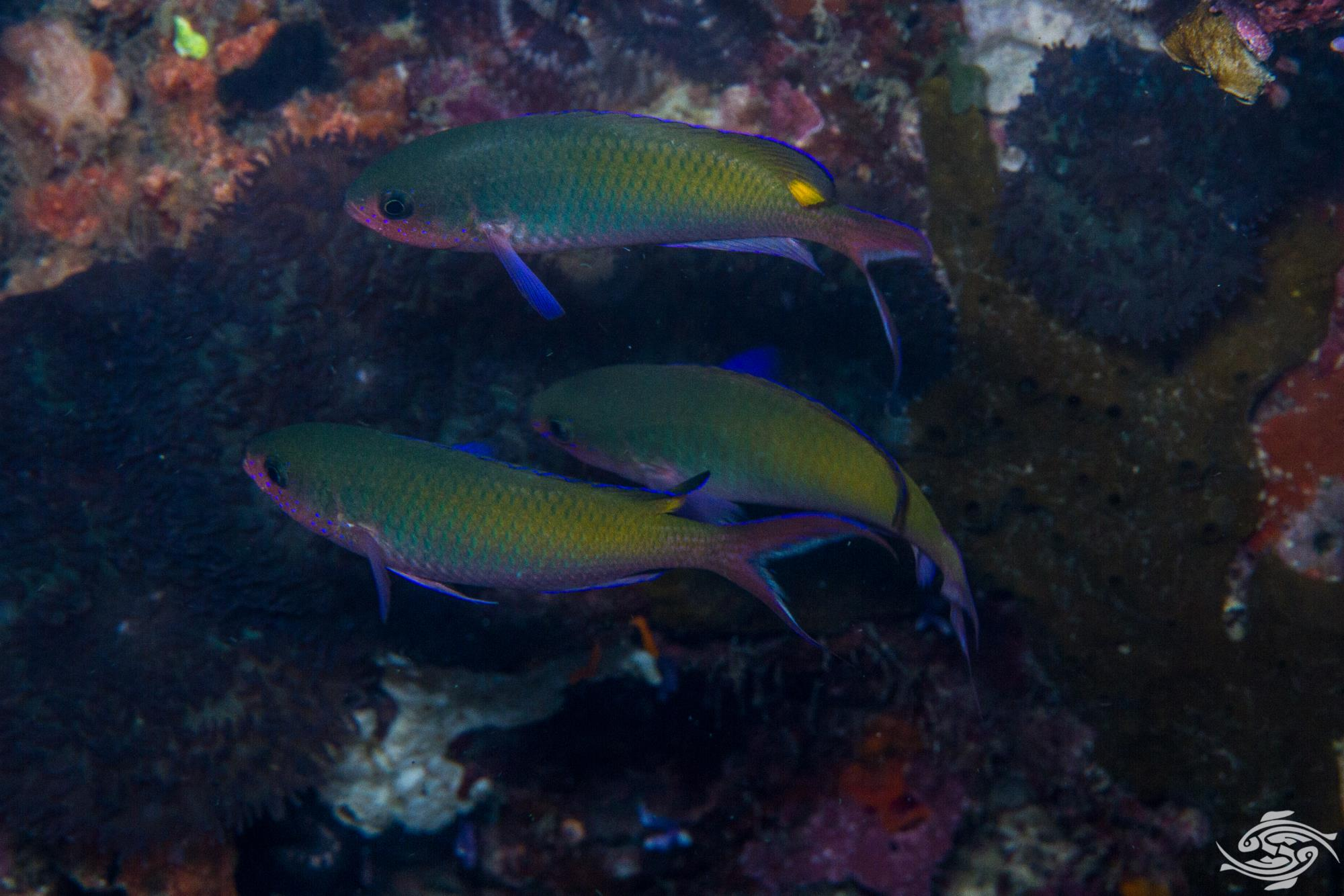 Fusilier Damselfish Lepidozygus tapeinosoma