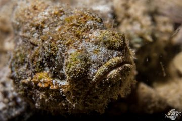Devil Scorpionfish (Scorpaenopsis diabolus) is also known as the False Stonefish