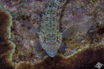 Speckled sandperch (Parapercis hexophtalma)