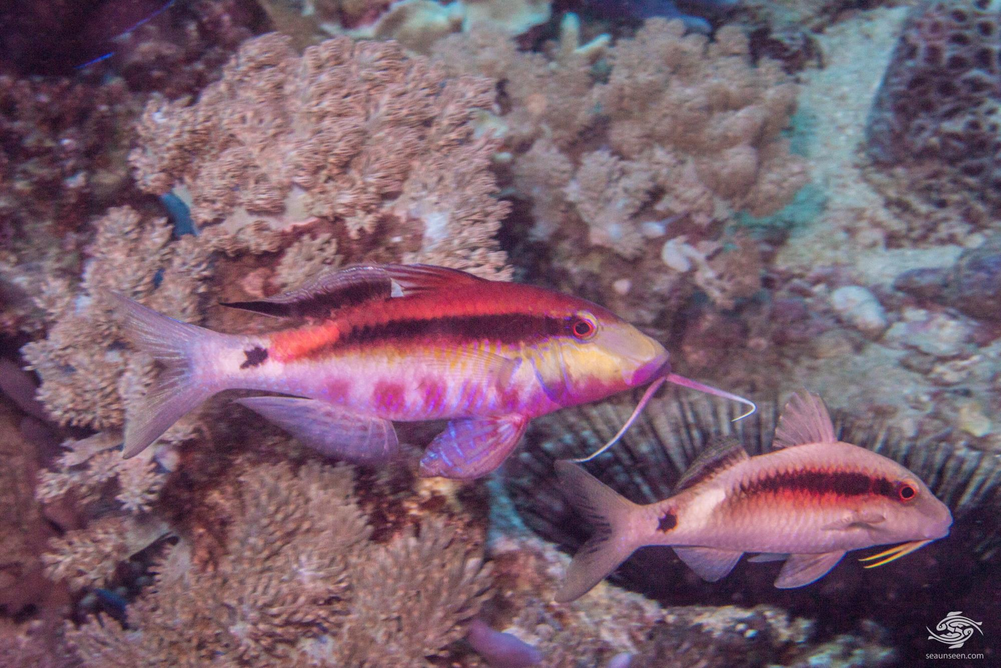 Longbarbel Goatfish (Parupeneus macronemus) is also known as the Band-dot goatfish, and Long-barbeled goatfish