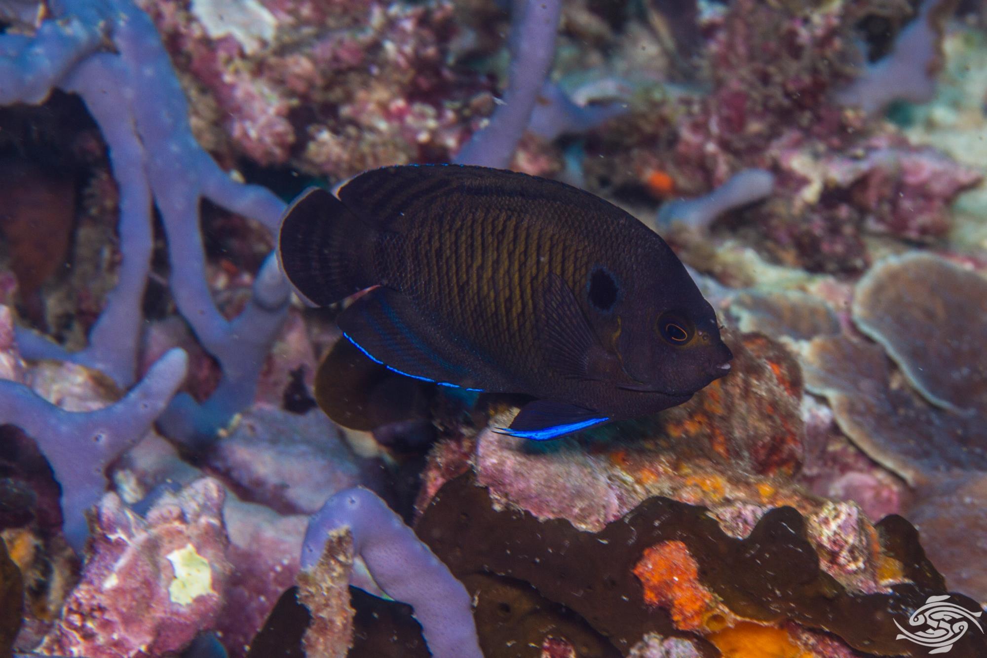 Dusky Angelfish (Centropyge multispinis)