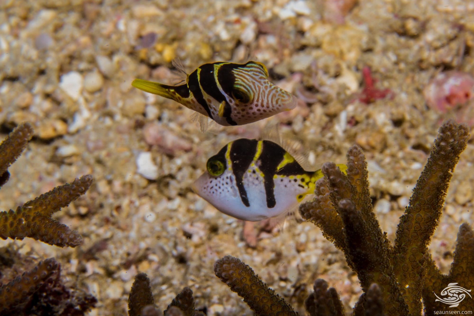 Blacksaddle filefish, Paraluteres prionurus and the Blacksaddle toby Canthigaster valentini.