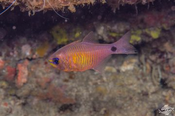 orangelined cardinalfish Taeniamia fucata or painted cardinalfish