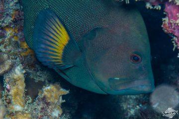 Redmouth grouper Aethaloperca rogaa