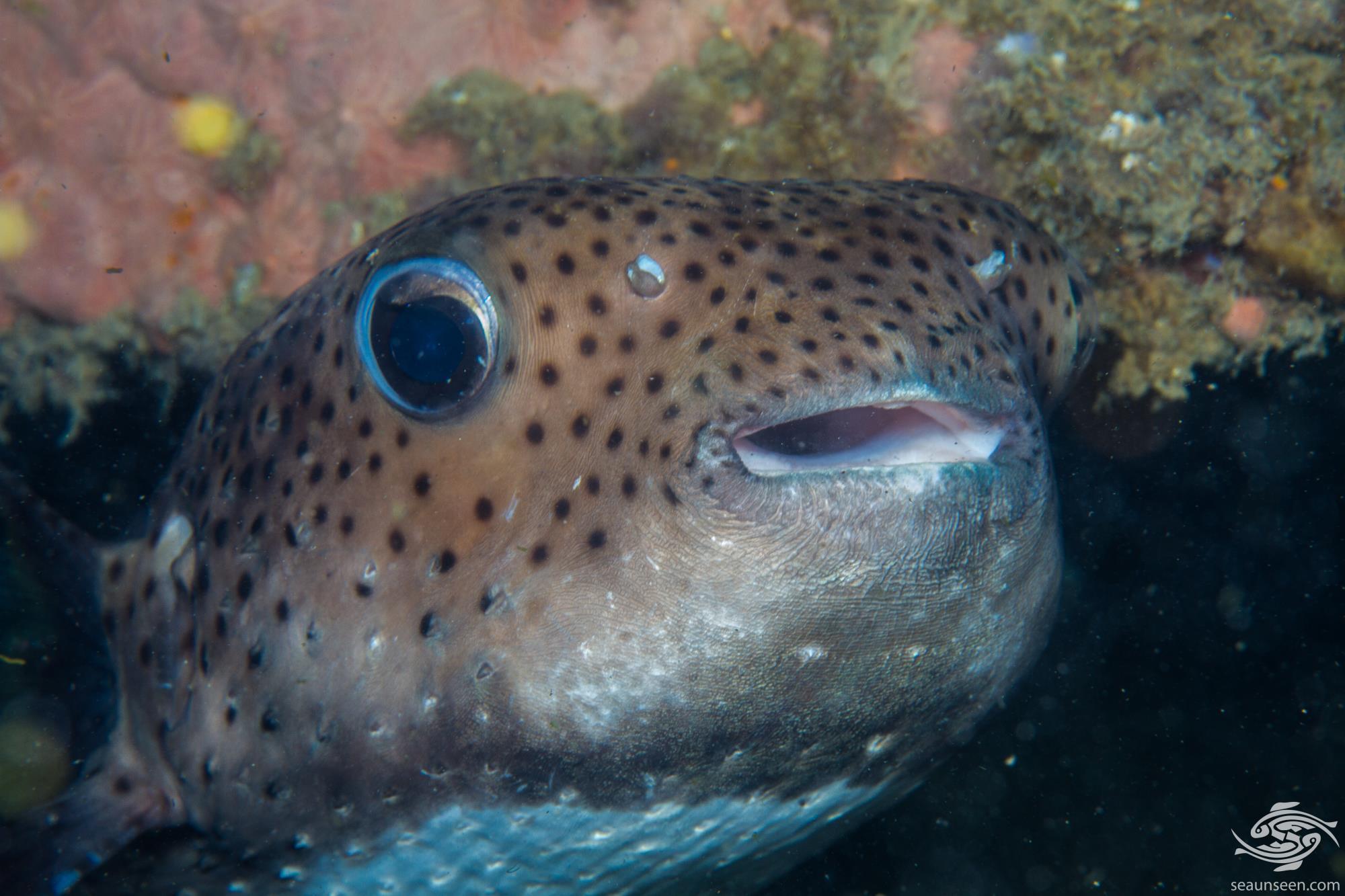 Spot-fin porcupinefish (Diodon hystrix) is also known as Spotted porcupinefish, Black-spotted porcupinefish or simply as the Porcupinefish