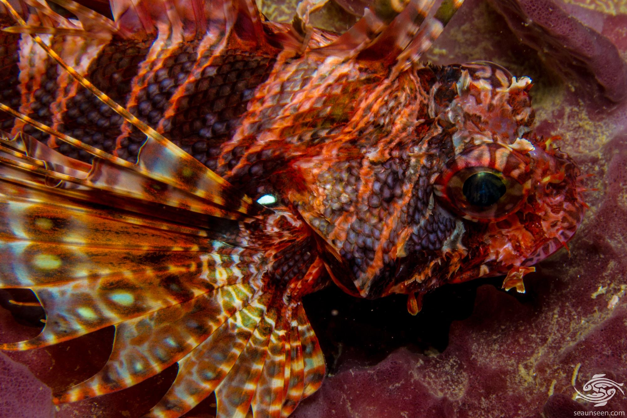 Mombasa Lionfish (Pterois mombasae)