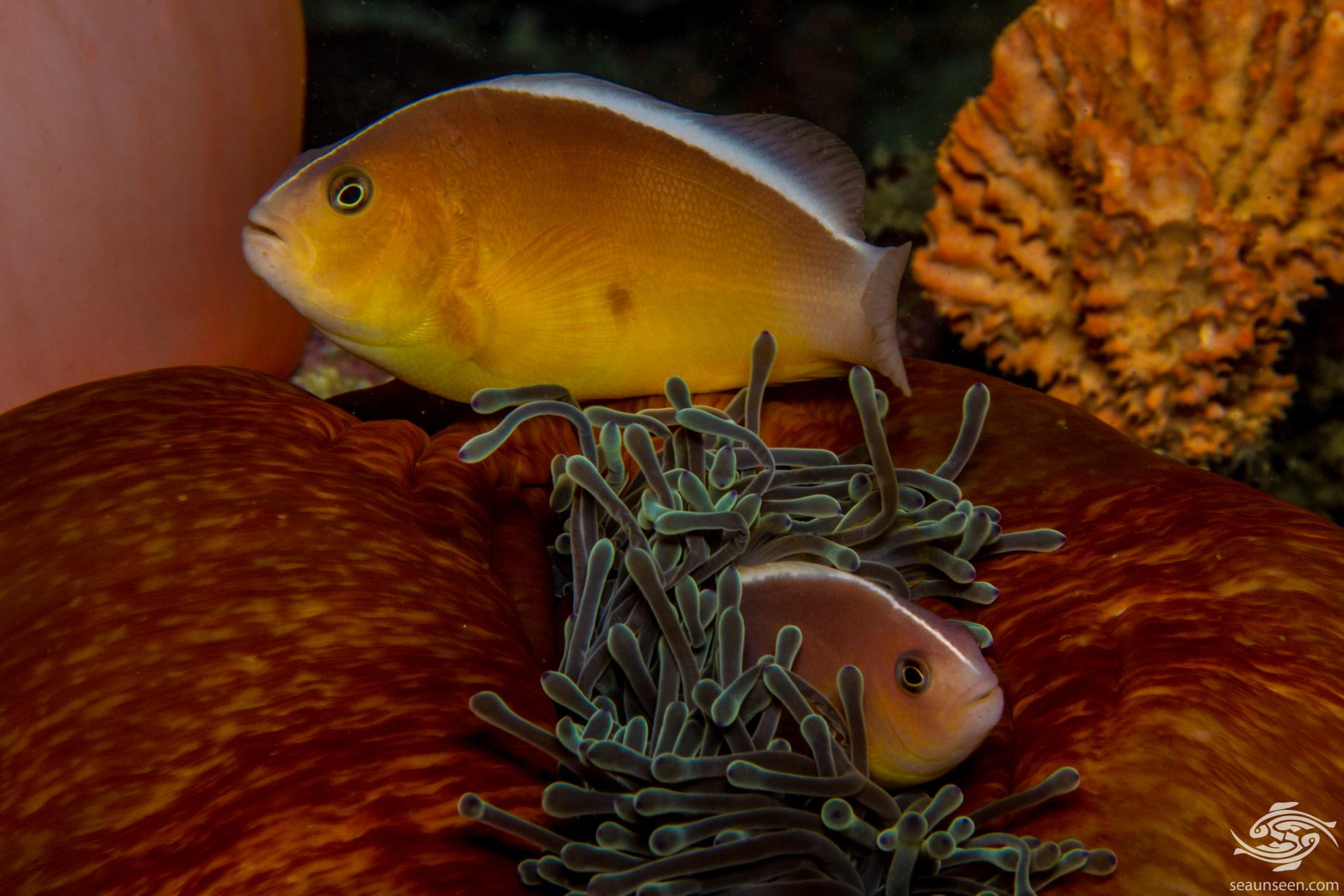 The skunk clownfish facts and photo 39 s seaunseen for Clown fish adaptations