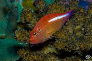 Arc-eye hawkfish (Paracirrhites arcatus),