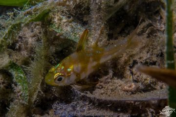 Blackfoot Cardinalfish, Apogon nigripes