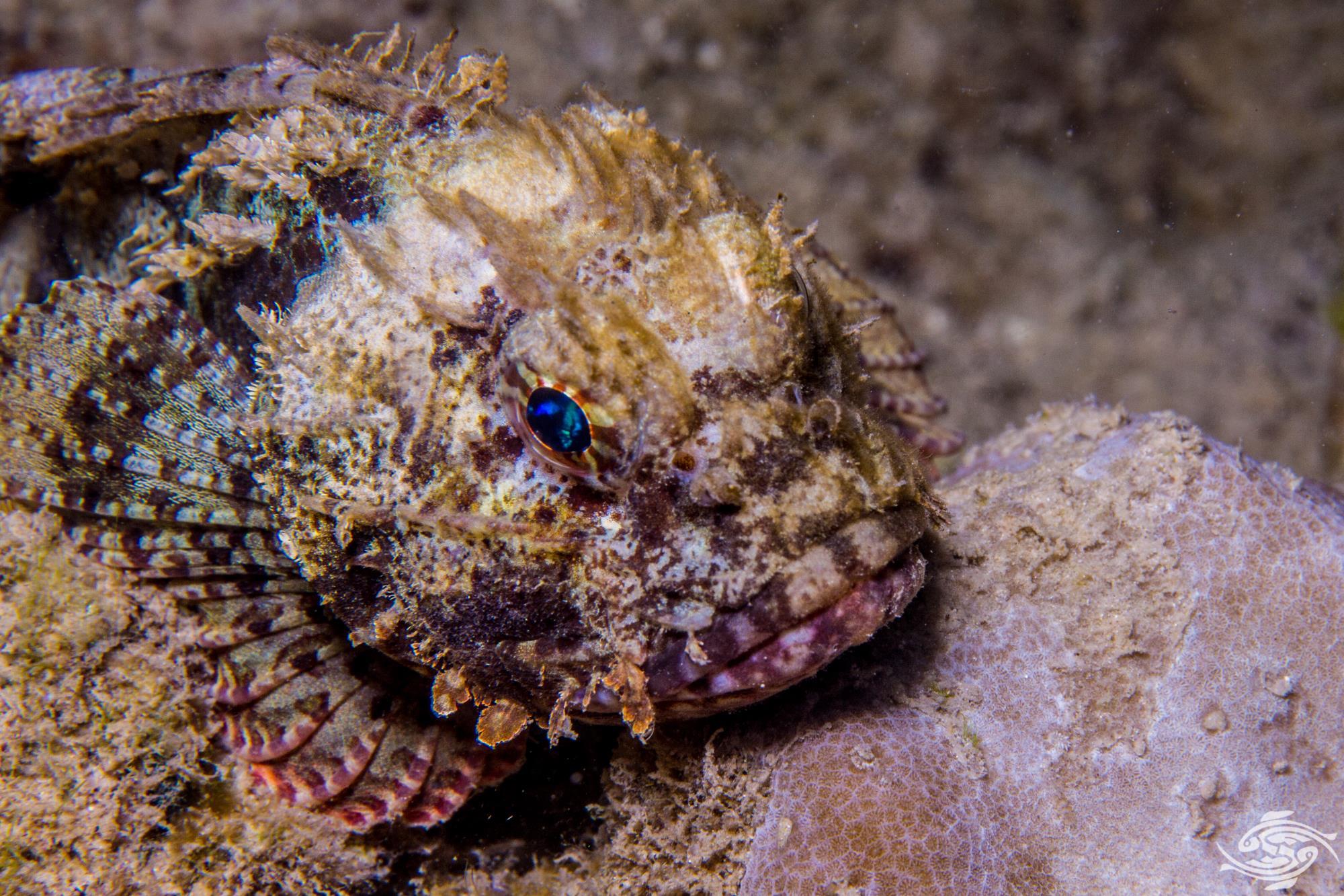 Golden Scorpionfish (Parascorpaena aurita)