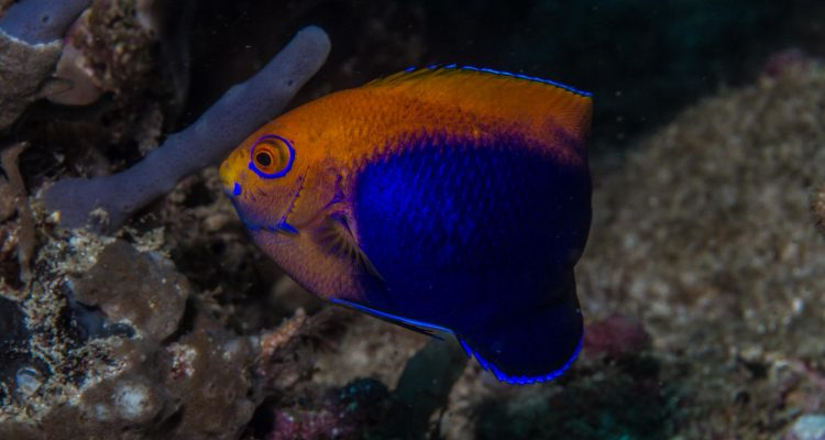 African Pygmy Angelfish (Centropyge acanthops) is also known as the African Cherubfish the Orangeback Angelfish, the Flameback Angelfish and the Jumping Bean