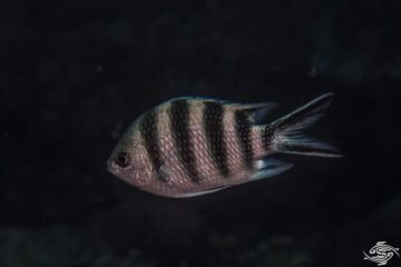 Scissortail Sergeant (Abudefduf sexfasciatus) also known as the striptailed damselfish