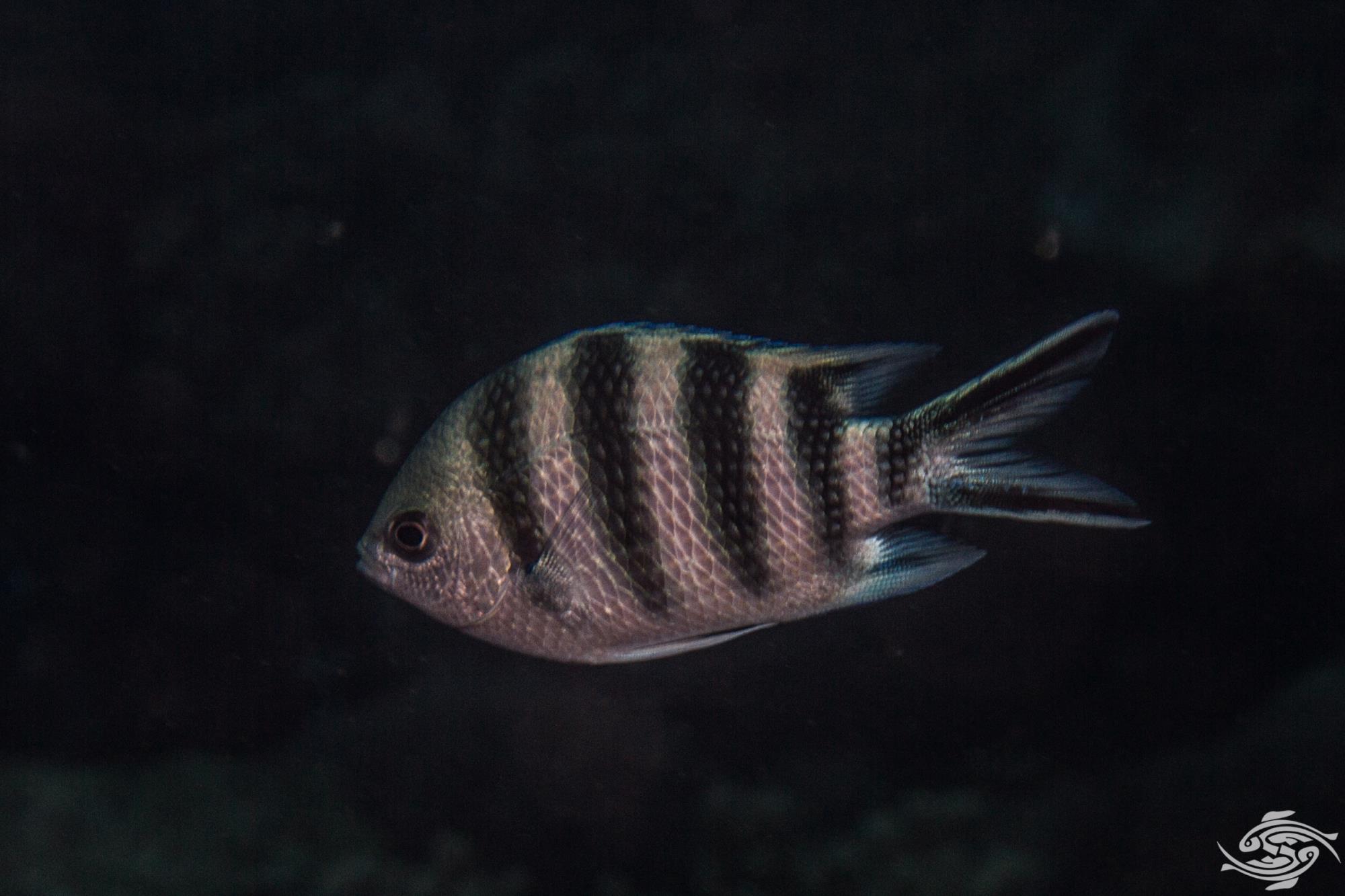 Scissortail Sergeant (Abudefduf sexfasciatus) also known as the striptailed damselfish