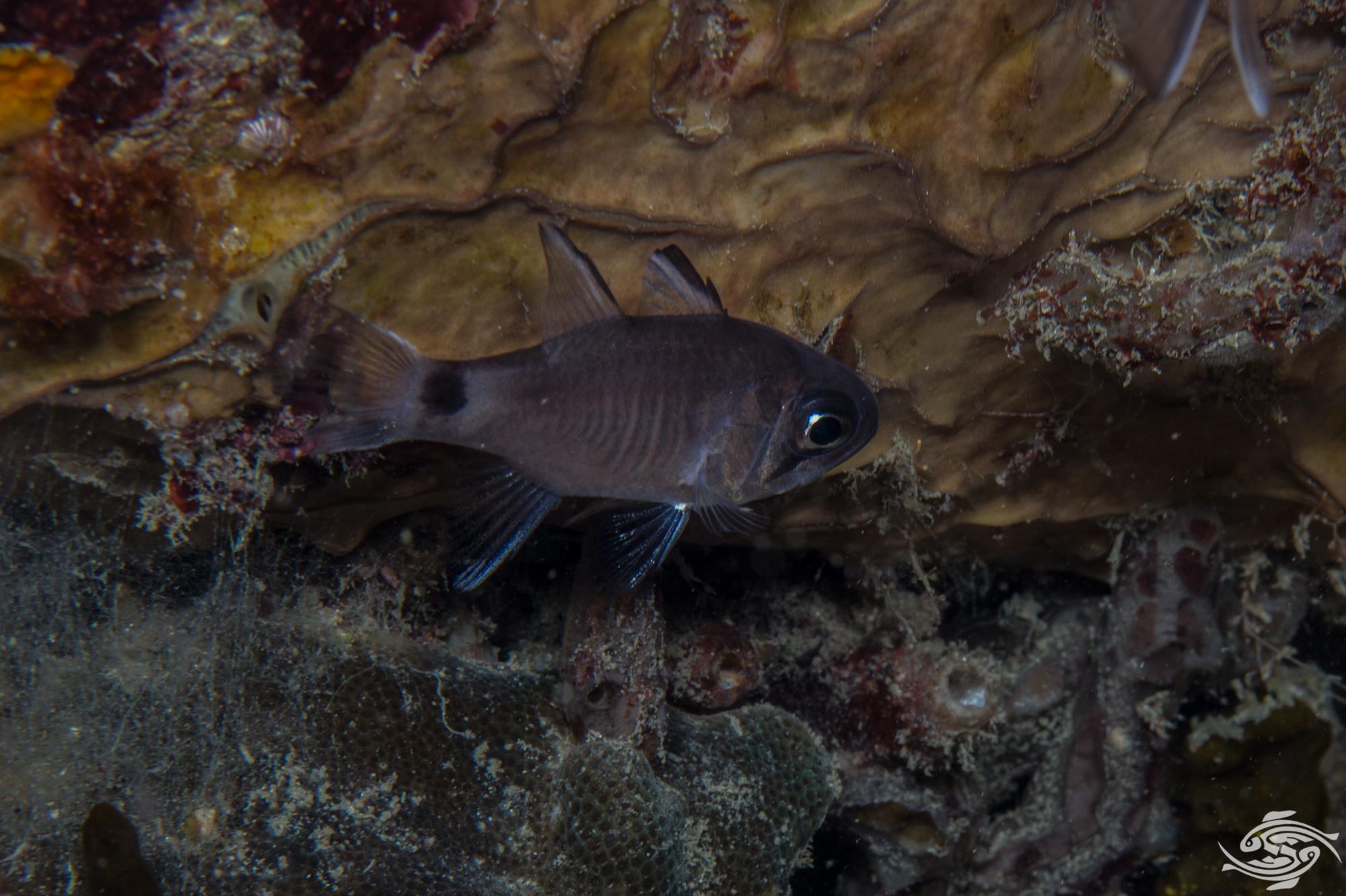 Samoan cardinalfish Nectamia savayensis