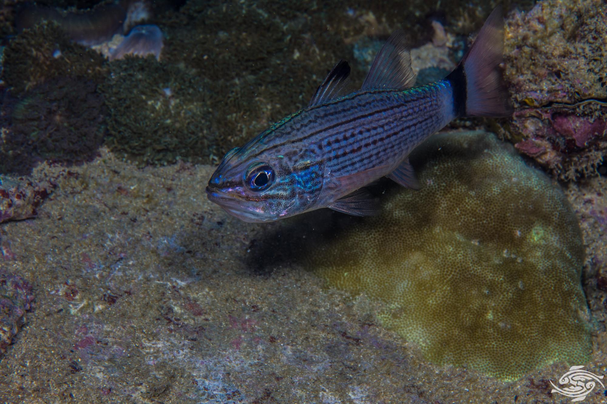 Wolf cardinalfish Cheilodipterus artus
