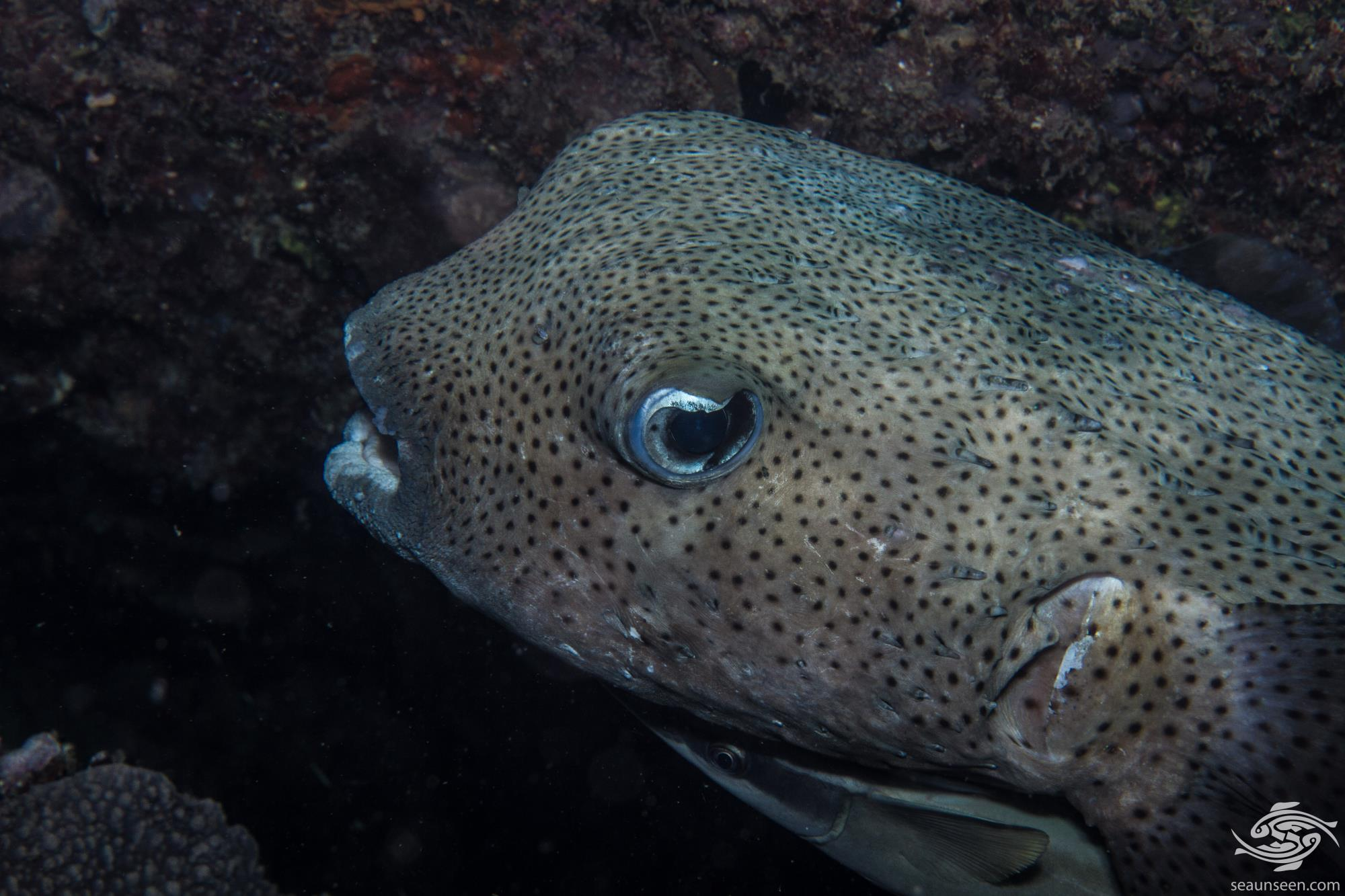 Spot-fin porcupinefish (Diodon hystrix) is also known as Spotted porcupinefish, Black-spotted porcupinefish or simply as the Porcupinefish