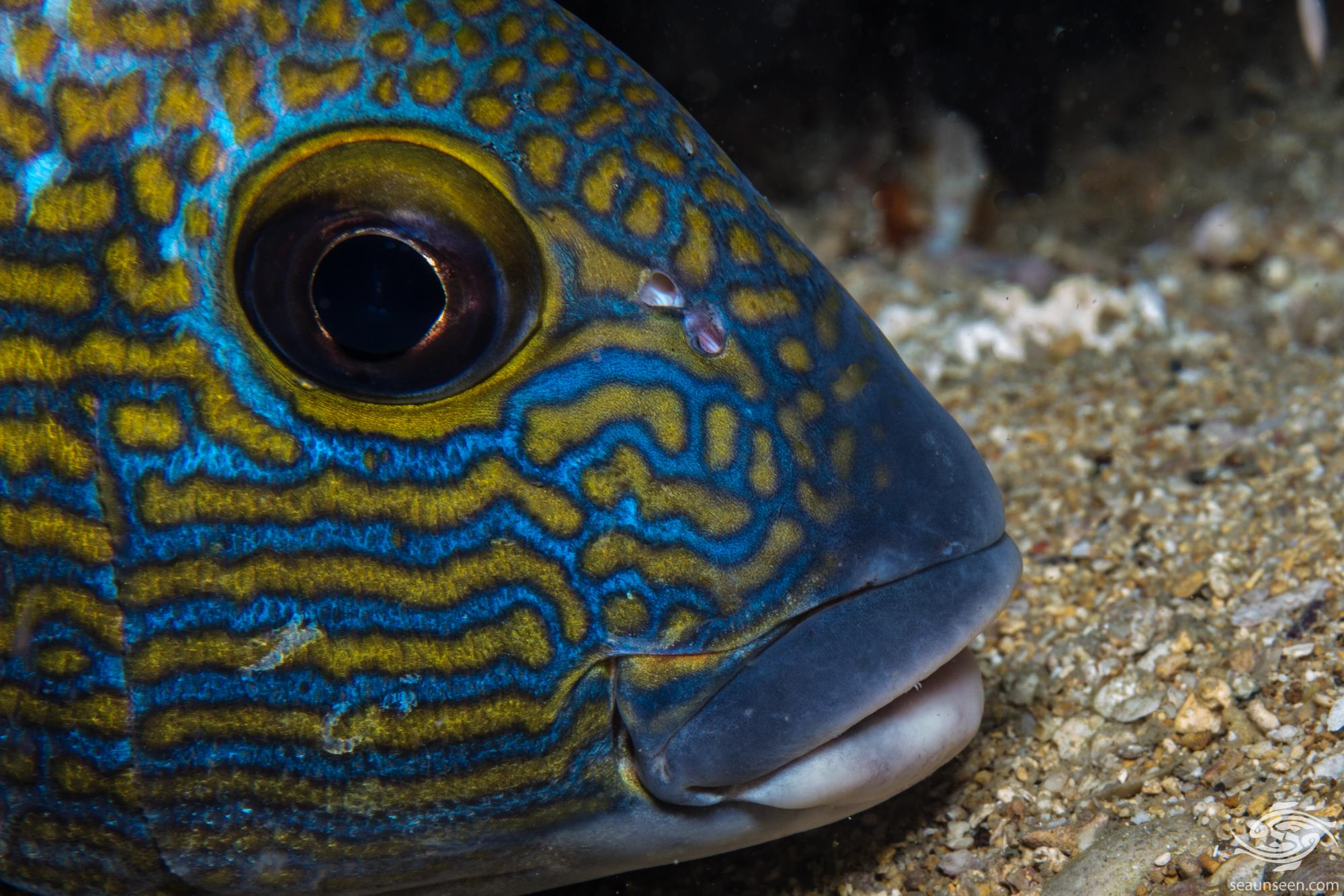 goldspotted sweetlips Plectorhinchus flavomaculatus, also known as the Lemonfish