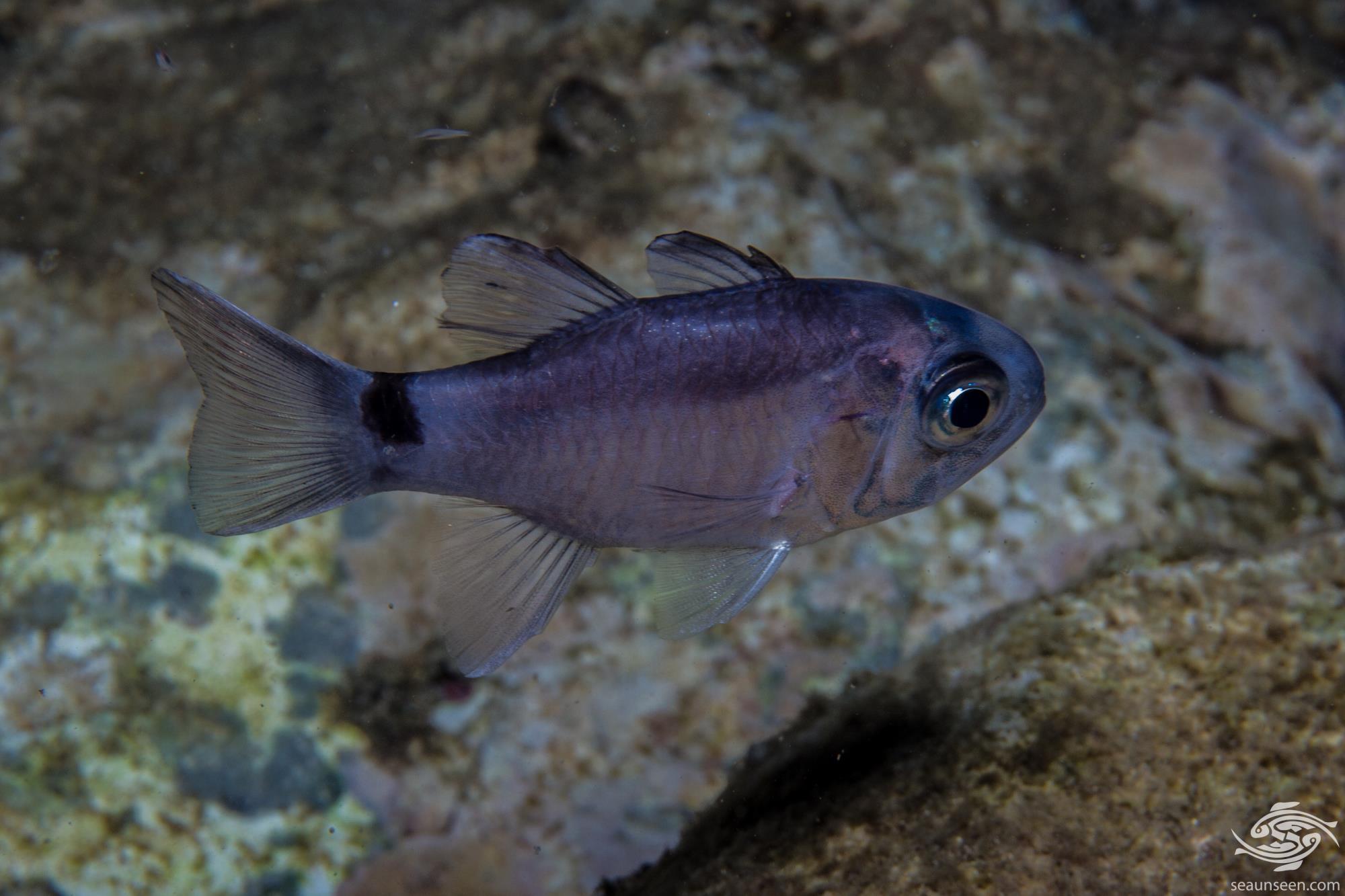 Samoan Cardinalfish Nectamia savayensis is also known as the Fo Cardinalfish