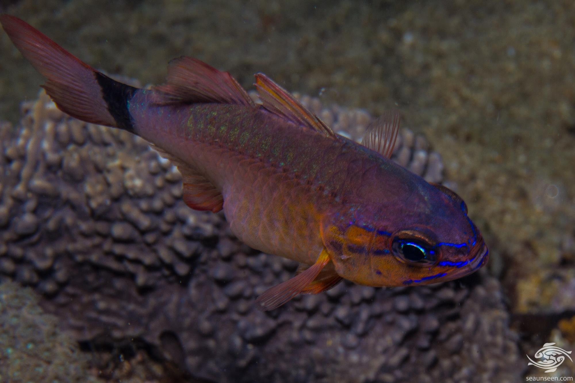 flower cardinalfish Apogon fleurieu is also known as the Bulls eye Cardinalfish and Ring tailed cardinalfish