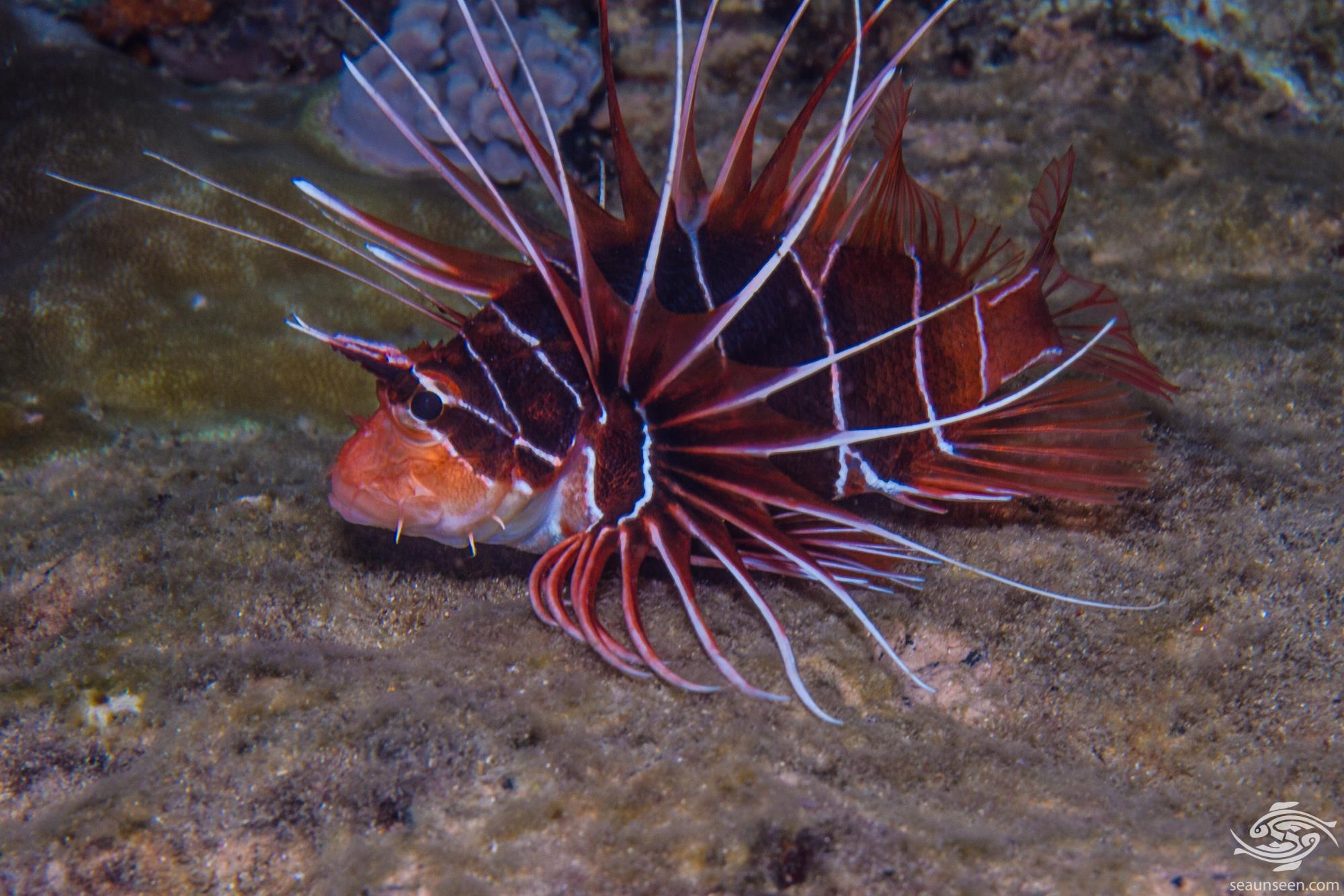 Clearfin lionfish (Pterois radiata) is also known as the Radial lionfish or Tailbar Lionfish.