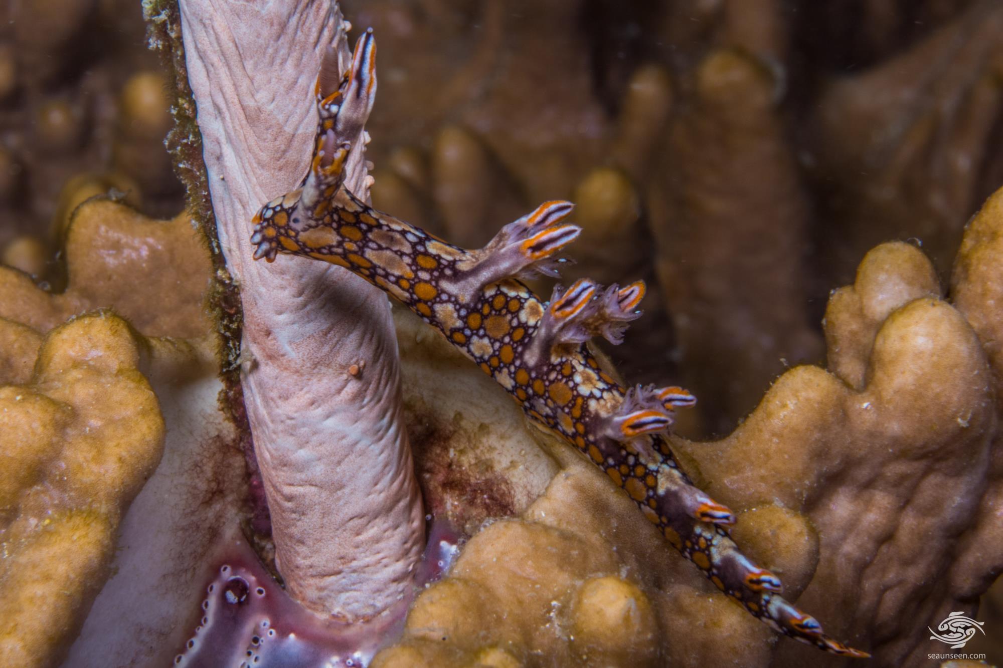 Bornella anguilla also known as the Snakey Nudibranch swimming