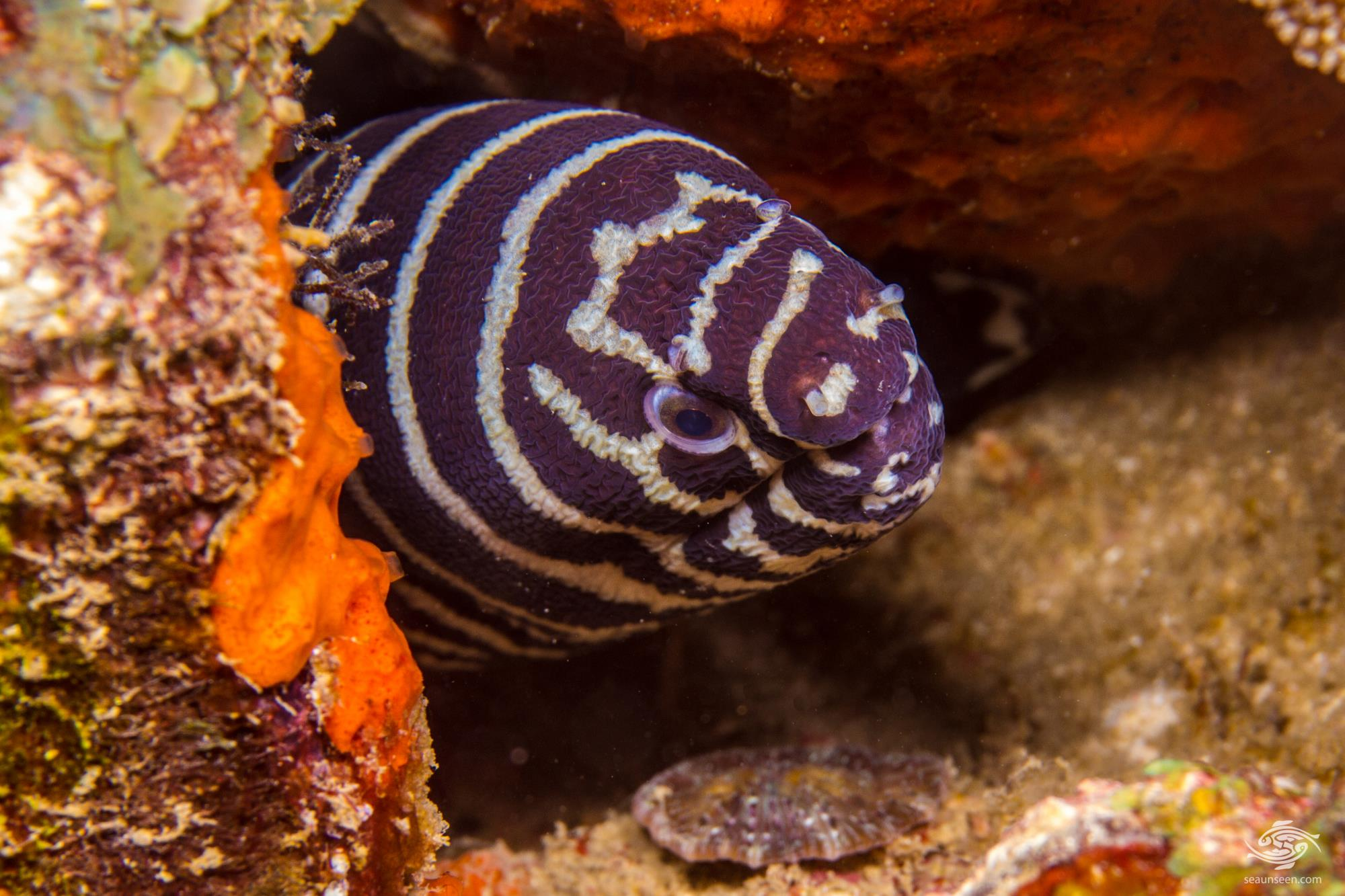 Zebra Moray Eel Facts And Photographs Seaunseen