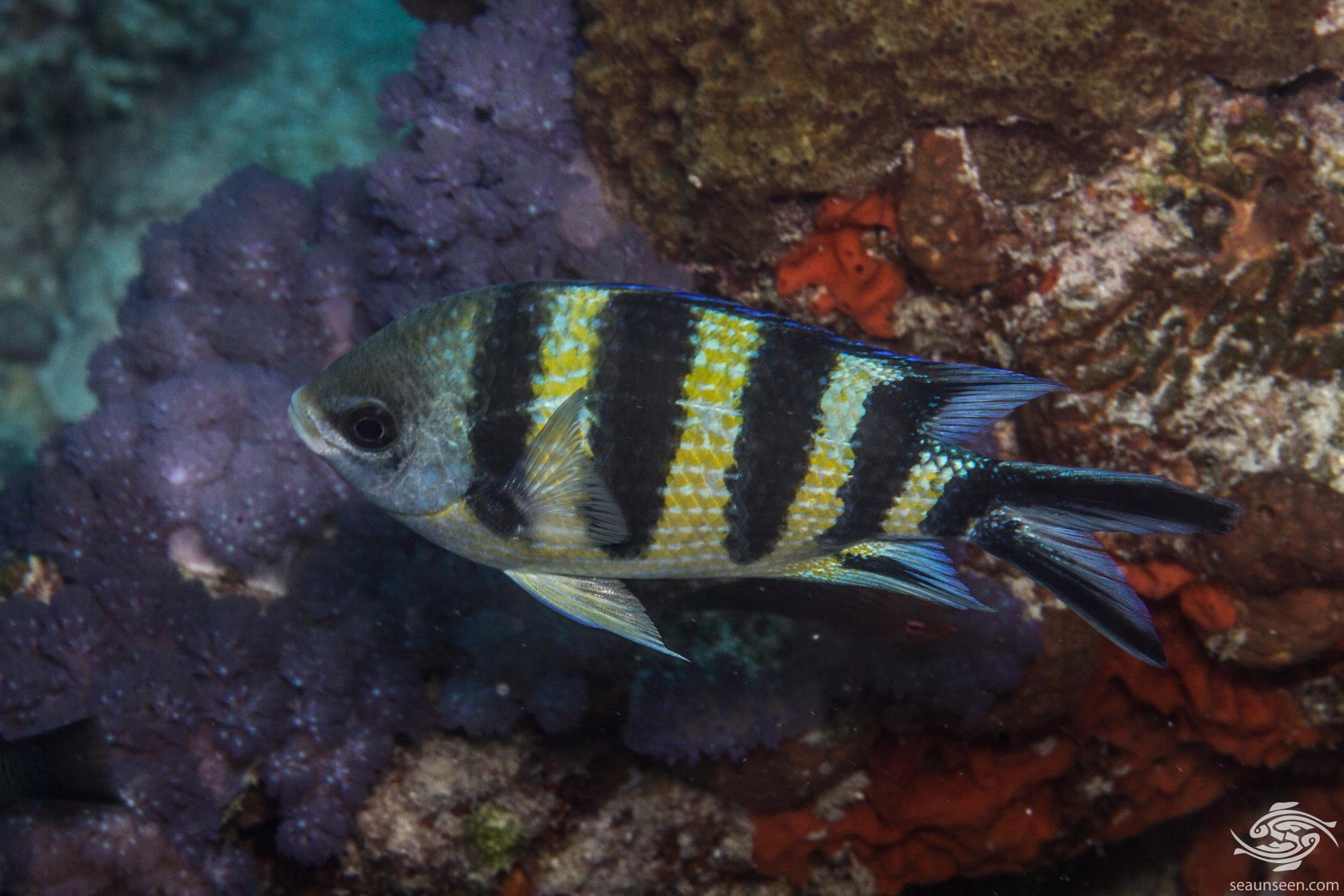 Indo-Pacific Sergeant (Abudefduf vaigiensis) is also known as the Five-banded Sergeant-major