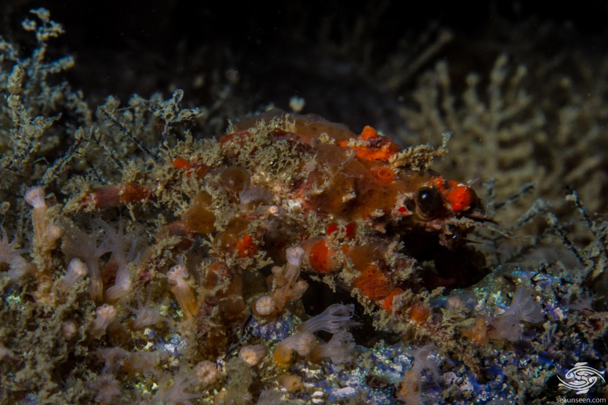 Decorator Crab belonging to the superfamily Majoidea
