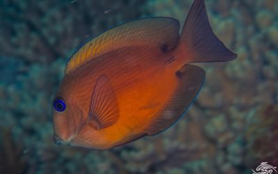 Twospot Bristletooth,Ctenochaetus binotatus also known as the Twospot Surgeonfish)