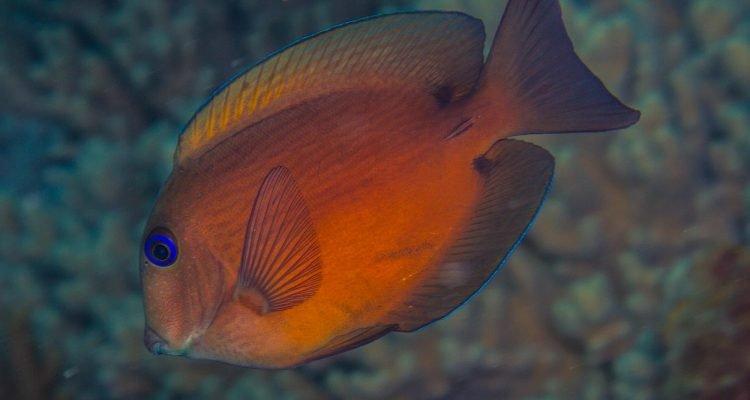Twospot Bristletooth,Ctenochaetus binotatus also known as the Twospot Surgeonfish)