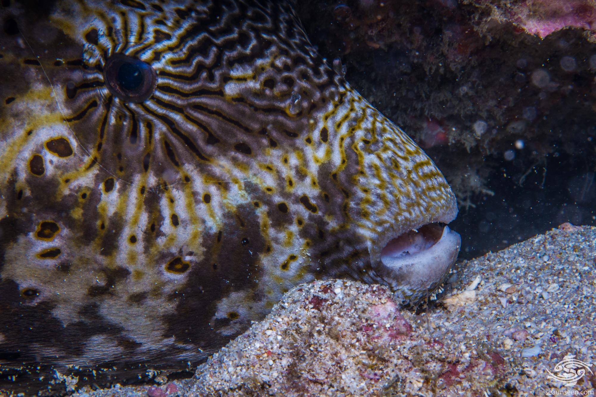map pufferfish or scribbled puffer, Arothron mappa