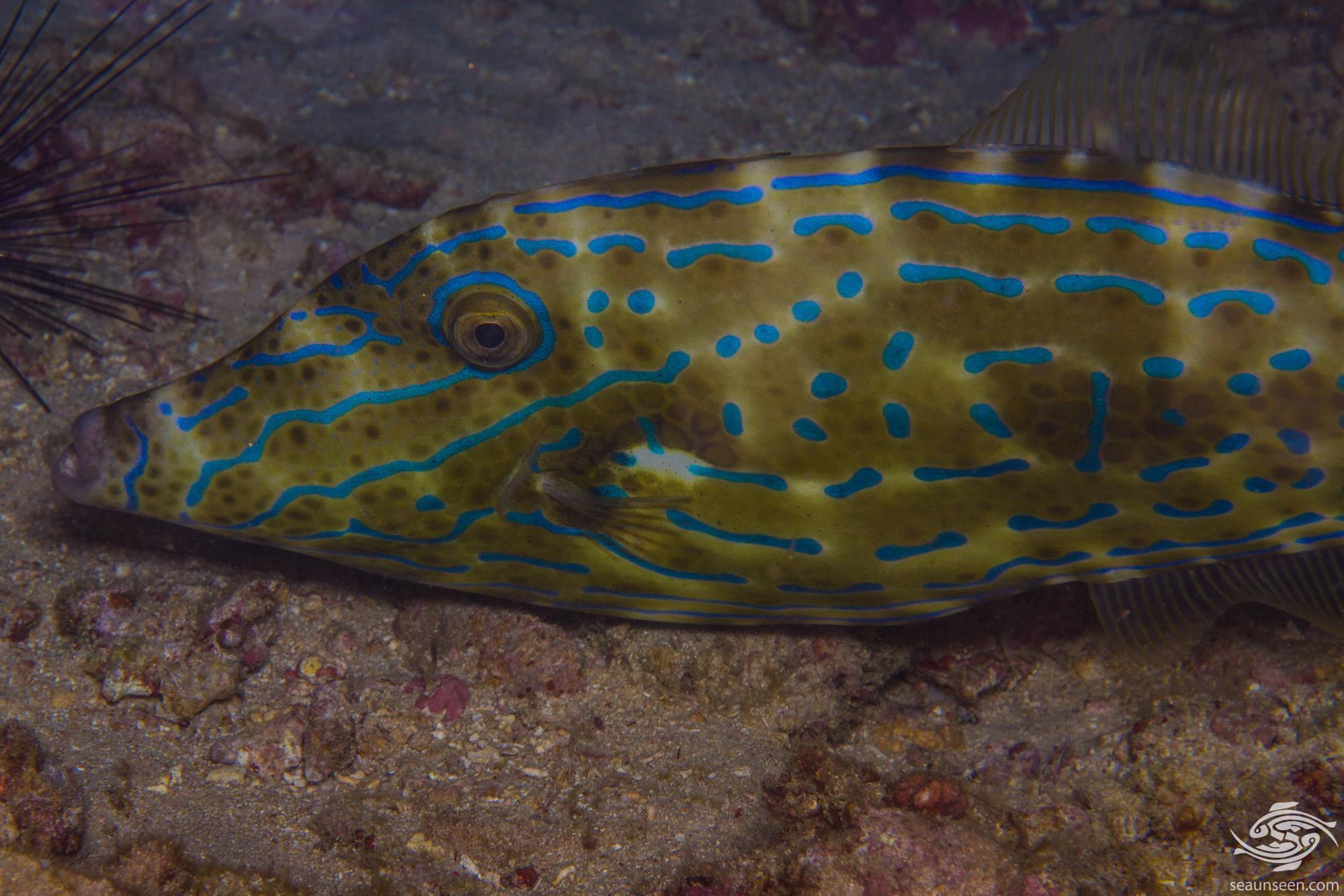 Scrawled File Fish (Aluterus scriptus)