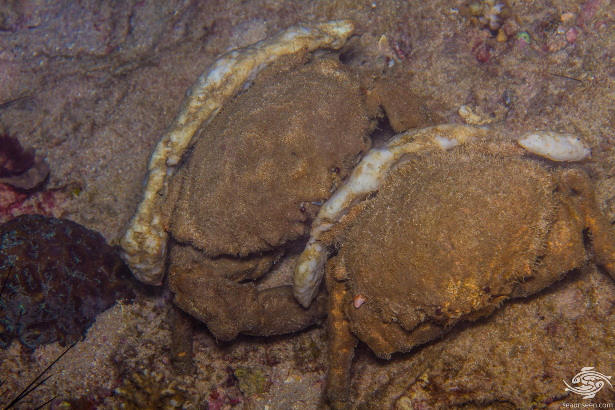 Sponge crab Lauridromia dehaani