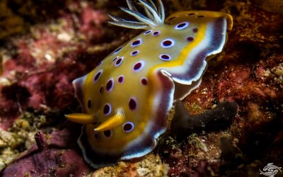 Goniobranchus geminus previously known as Chromodoris geminus also known as the Gem Nudibranch
