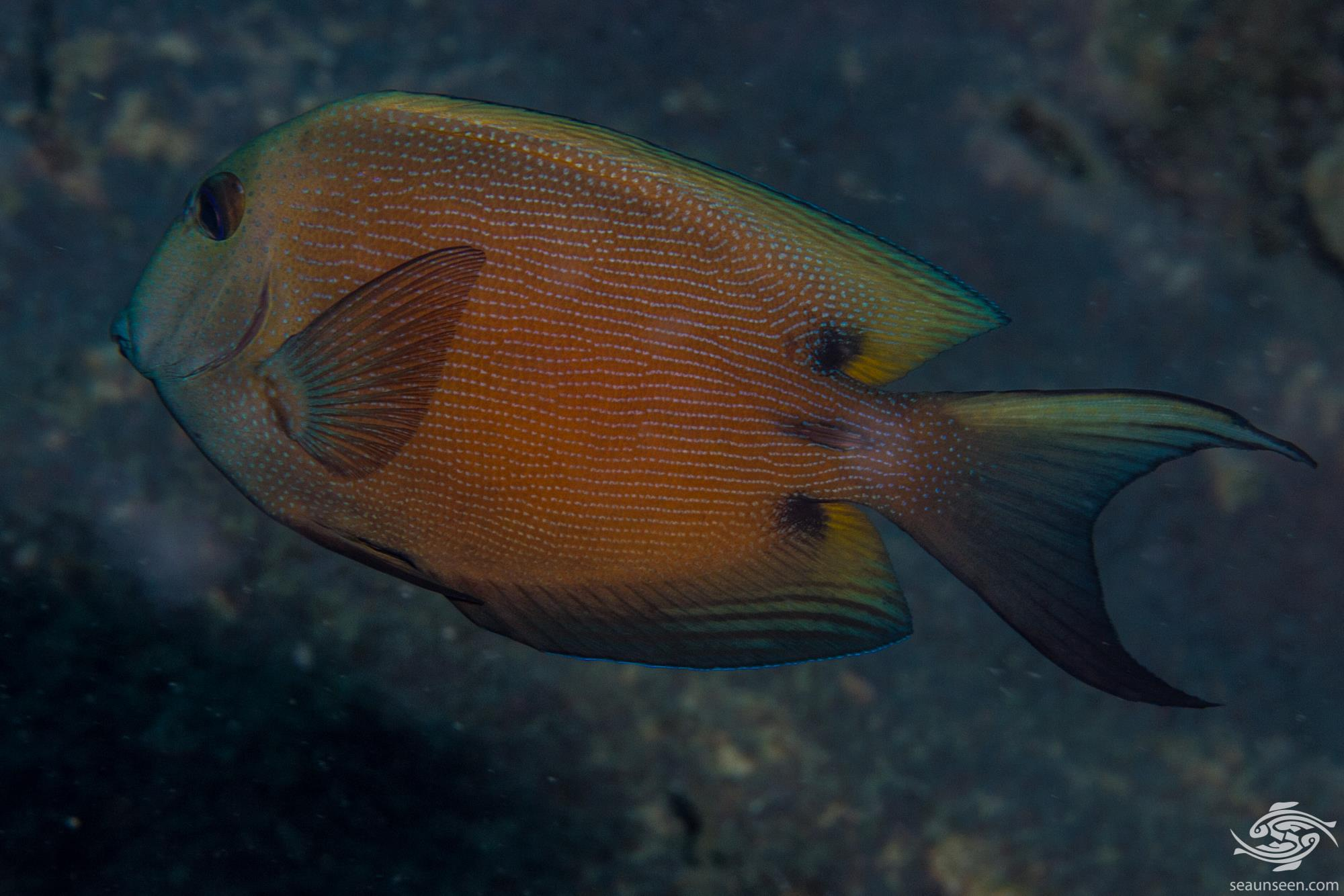 Twospot Bristletooth, Ctenochaetus binotatus also known as the Twospot Surgeonfish