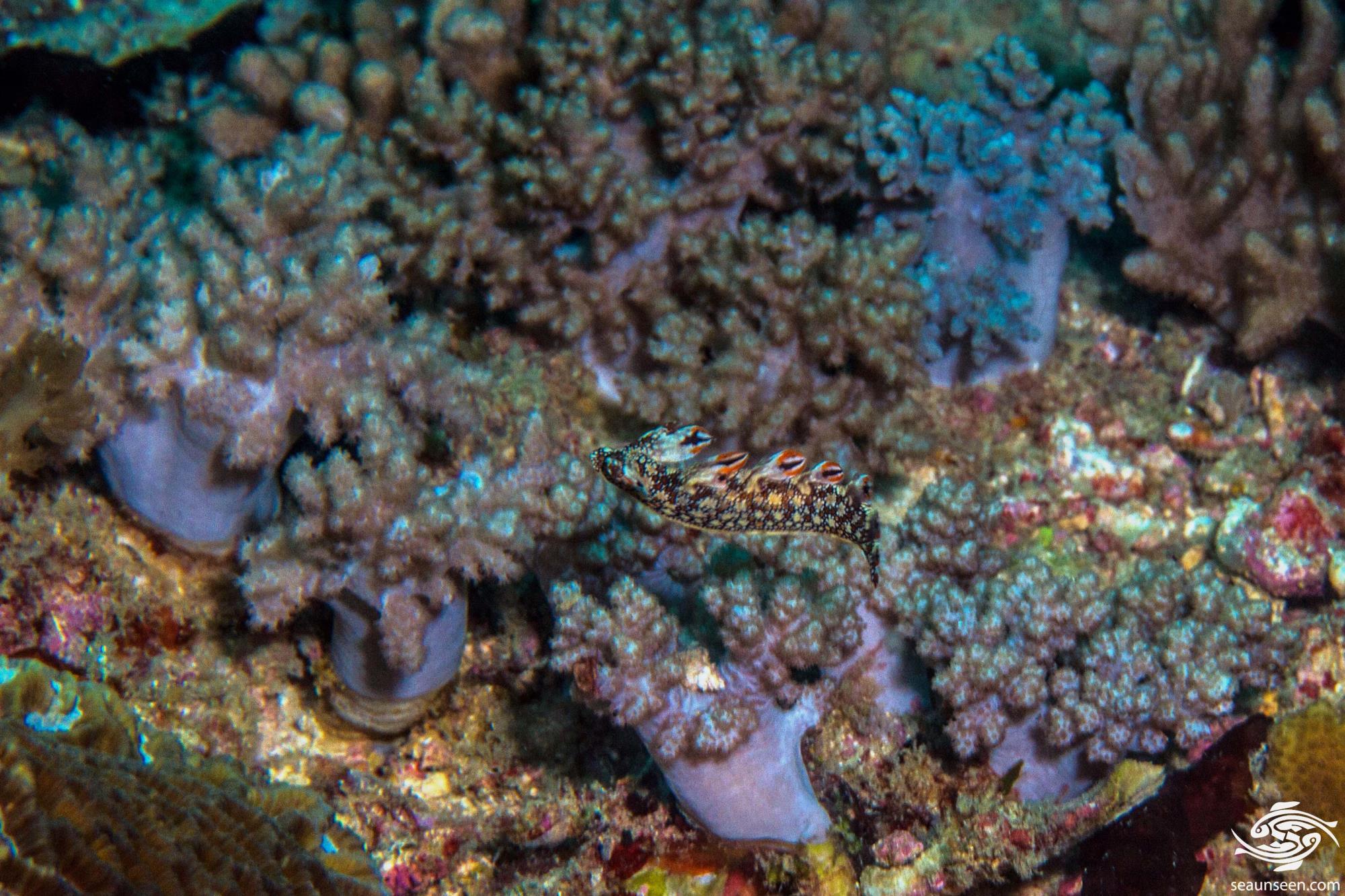 Snakey Nudibranch swimming