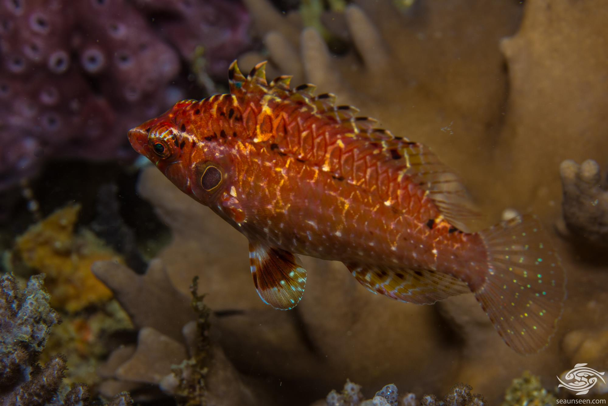 Cryptic wrasse Pteragogus cryptus also known as the Indian Sneaky Wrasse