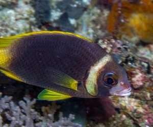 Whitecheek monocle bream (Scolopsis vosmeri)