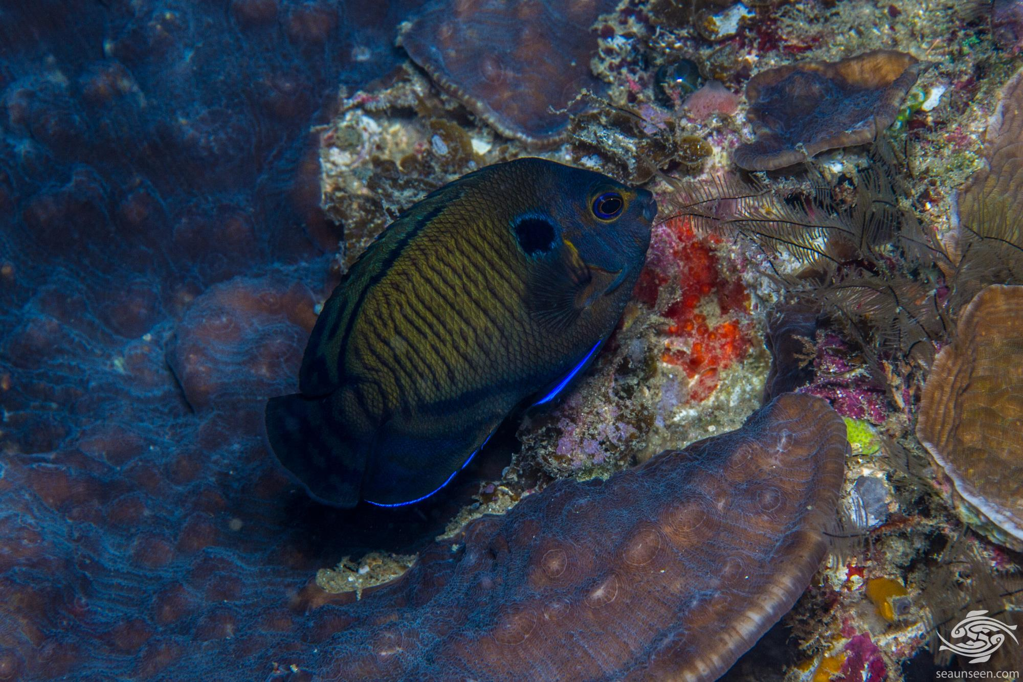 Dusky Angelfish (Centropyge multispinis)is also known as the Bluefin Angelfish, the Brown Pygmy Angelfish,Dusky Cherub and Multispined Angelfish