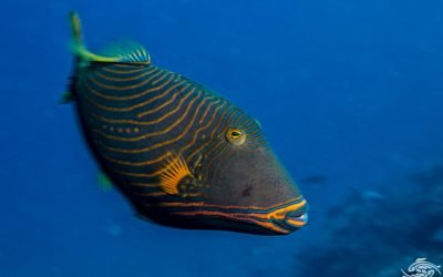 Orange-lined Triggerfish (Balistapus undulatus)Undulate Triggerfish, also known as the Orangelined Triggerfish or Orangetailed Triggerfish Orange striped