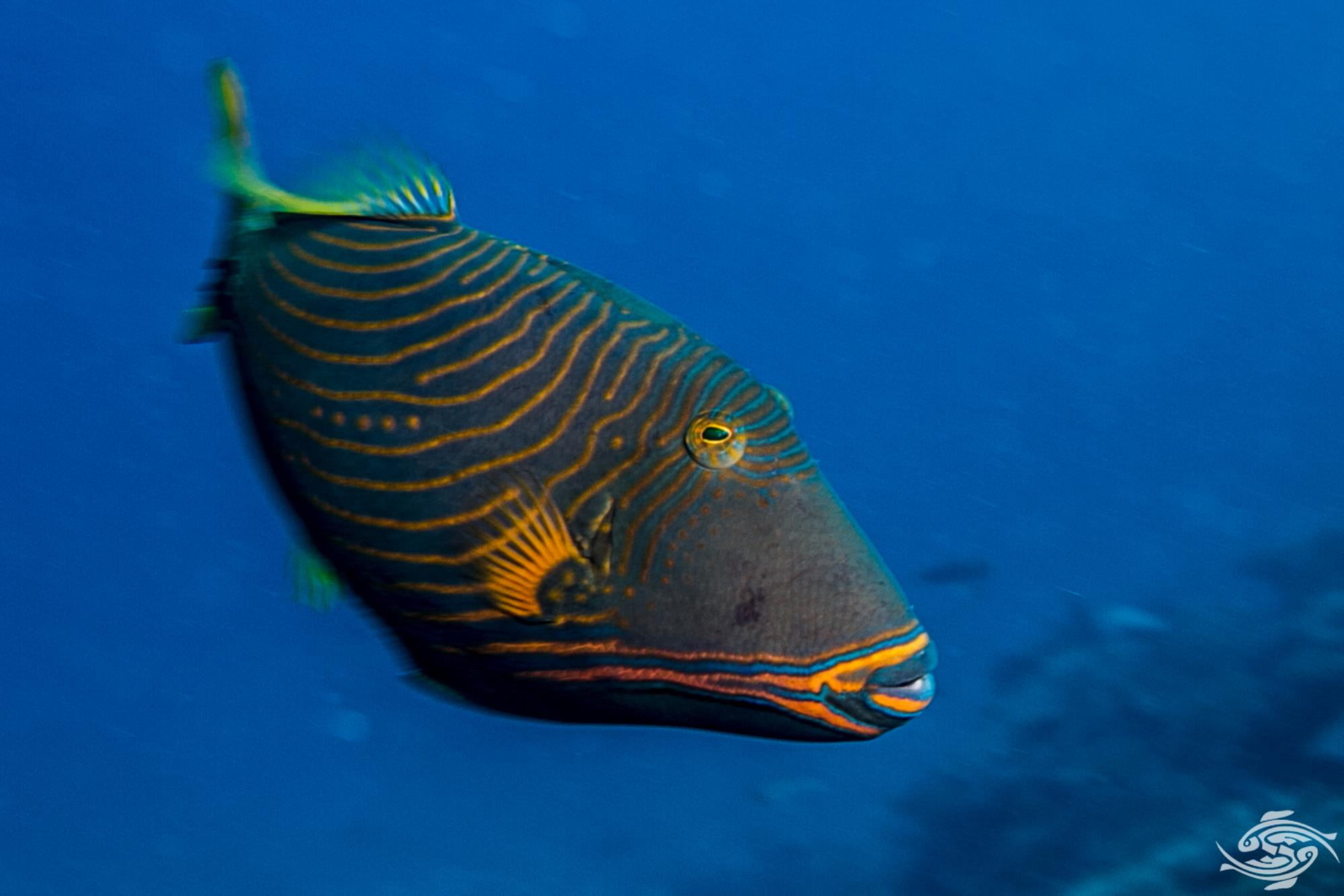Orangelined Triggerfish (Balistapus undulatus)Undulate Triggerfish, also known as the Orangelined Triggerfish or Orangetailed Triggerfish Orange striped