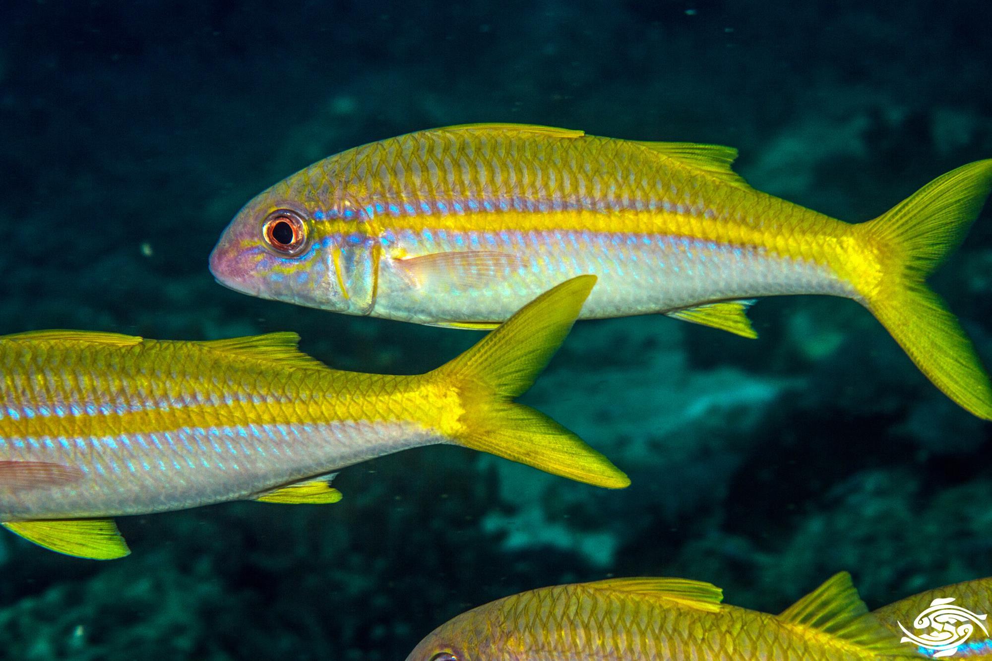 Yellowfin goatfish (Mulloidychtys vanicolensis)