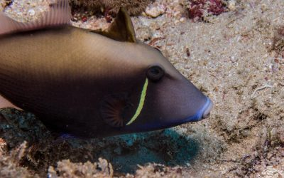 Halfmoon triggerfish, Sufflamen chrysopterum