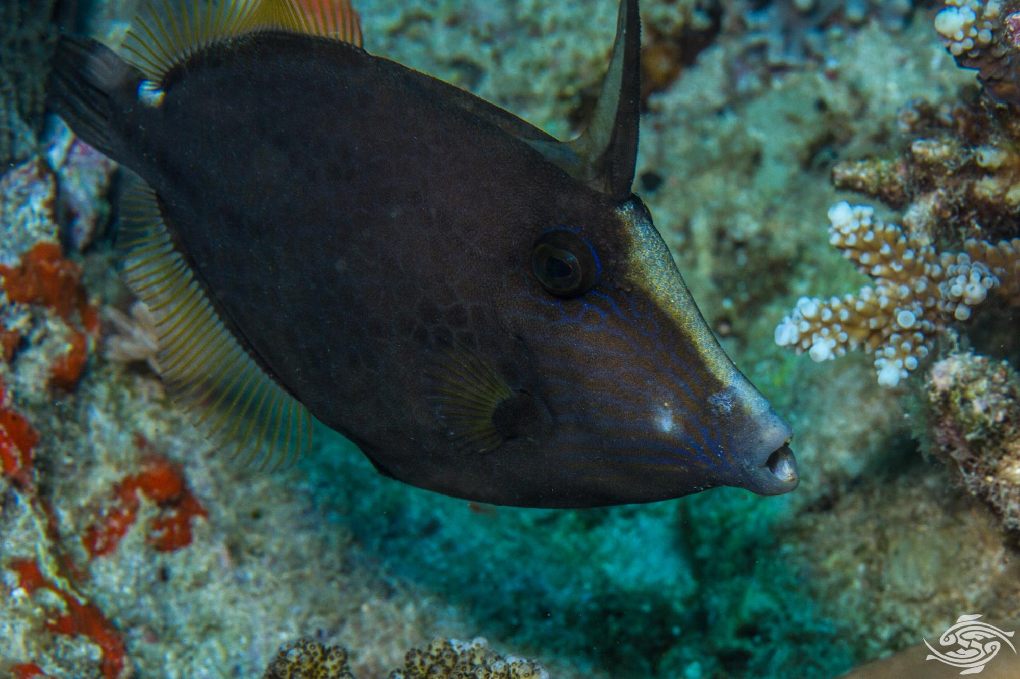Honeycomb Filefish (Cantherhines pardalis) is also known as the Wirenet Filefish and the Honeycomb Leather- jacket