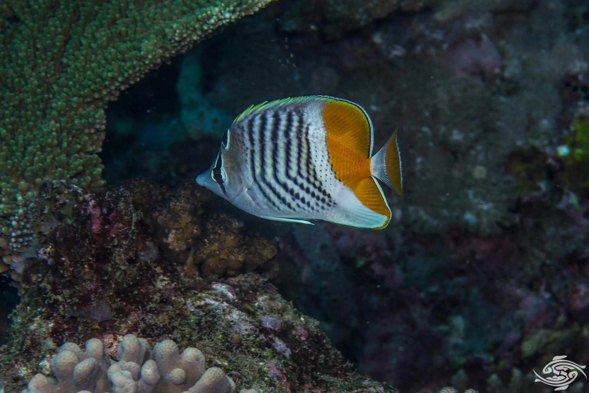 Seychelles butterflyfish (Chaetodon madagaskariensis) is also known as the Pearly Butterflyfish