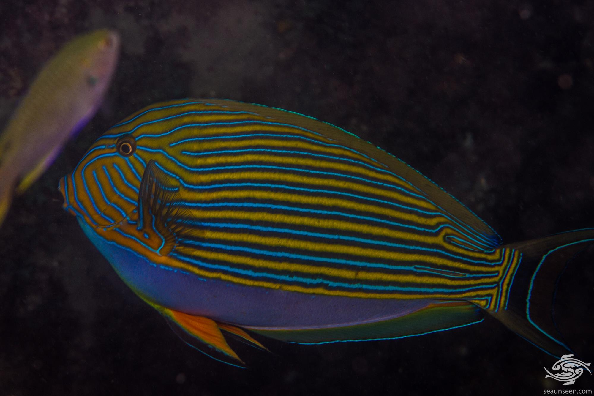 lined surgeonfish facts and photographs seaunseen